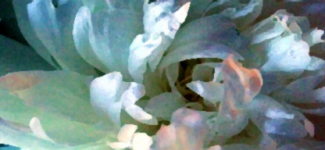 free header art - white peony enchanded with watercolor and sunlight